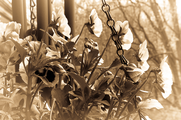 Pansies, Balcony Garden in Sepia, 2007