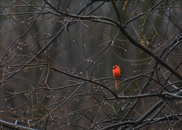 Cardinal, End of Winter, Hagerstown, Maryland, March 2011