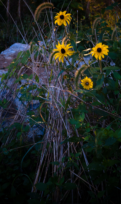 Black Eyed Susans, Morning, Fairgrounds Park, Hagerstown, Maryla