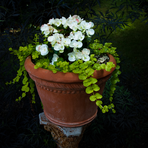 Creeping Jenny in a Red Clay Pot on a Pedestal, Surreybrooke Gar