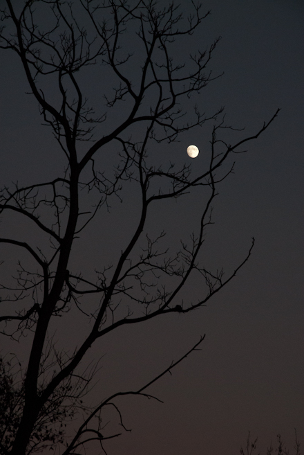 Moon Caught Between Branches III