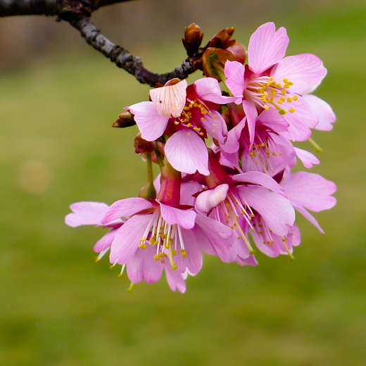 Cherry Blossoms, Fairgrounds Park, Hagerstown, Maryland, March 1