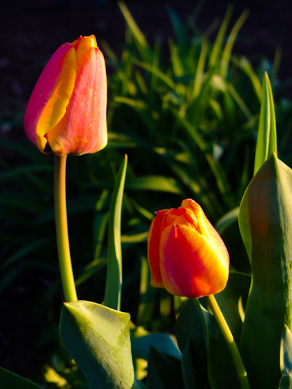 Tulips, Fairgrounds Park, Hagerstown, Maryland, March, 2012