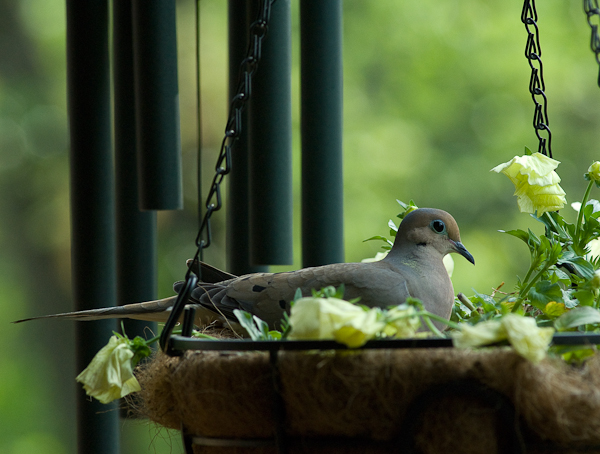 Dove Nesting, Balcony Garden, Hunter Hill, Hagerstown, Maryland,