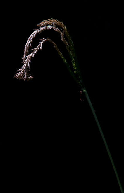Grass Stalk, Fairgrounds Park, Hagerstown, Maryland, June 29, 20