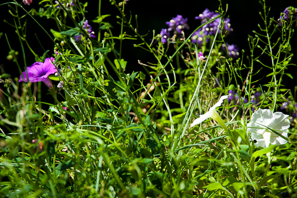 Wild Petunias, Balcony Garden, Hunter Hill, July 6, 2013