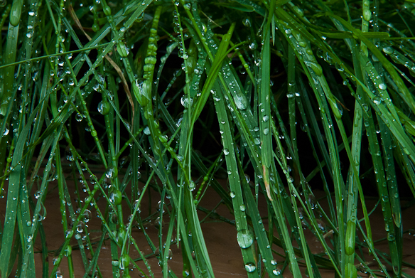 Rye Grass and Raindrops, Railing Planter, Balcony Garden, Hunter
