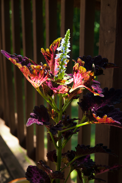 Coleus Flowering, Balcony Garden, Hunter Hill, July 14, 2013